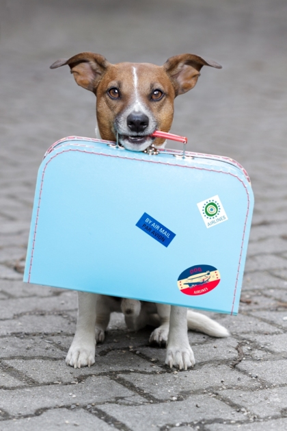 Dog holding a blue bag